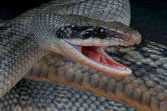 Attacking rat snake. The Vietnamese blue beauty Rat Snake (Orthriophis taeniurus) is a species of long, slender, semi-arboreal snakes. Their average length is Royalty Free Stock Photography
