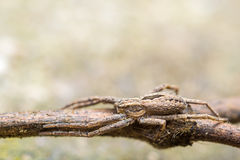 Attacking Spider Royalty Free Stock Image
