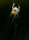 Attacking Spider on web Stock Photography