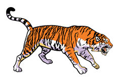 Attacking tiger. Tiger ,vector image isolated on white background,side view picture Royalty Free Stock Images