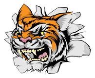 Attacking tiger head. Tiger sports mascot breakthrough concept of a tiger sports mascot or character breaking out of the background or wall Royalty Free Stock Photo