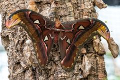 Attacus地图集飞蛾是其中一最大的lepidopterans在世界上 库存图片