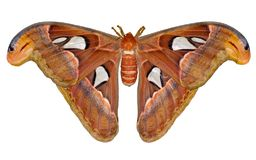 Attacus stock foto's