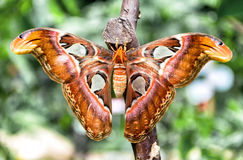 Attacus atlanta motyl & x28; Atlant Moth& x29; obrazy stock
