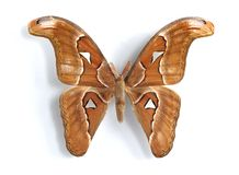 Attacus atlas. On the white background Royalty Free Stock Image