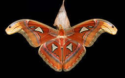 Attacus atlas Stock Photo