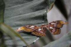 Attacus Atlas stockfotos