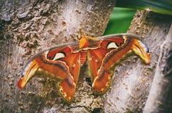 Attacus atlas Atlas moth at Tree Stock Photos