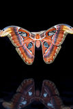 Attacus atlas Stock Images