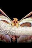 Attacus atlas Stock Photo