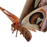 Attacus-Atlas große Saturniid-Motten-Fliegen-Haltung lokalisiert auf weißer Illustration des Hintergrund-3D vektor abbildung