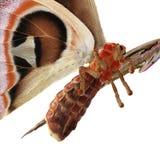 Attacus-Atlas große Saturniid-Motten-sitzende Haltung lokalisiert auf weißer Illustration des Hintergrund-3D stock abbildung