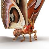 Attacus-Atlas große Saturniid-Motten-sitzende Haltung lokalisiert auf weißer Illustration des Hintergrund-3D vektor abbildung