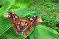 Attacus Atlas Moth Royalty Free Stock Photo