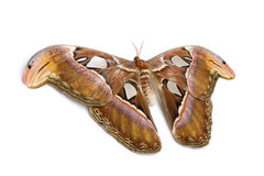 Attacus atlas moth Stock Image