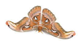 Attacus atlas moth Stock Photo