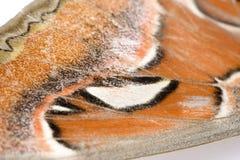 Attacus atlas moth Royalty Free Stock Photos