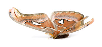 Attacus atlas moth Royalty Free Stock Images