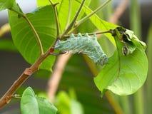 Attacus atlas moth Caterpillar Royalty Free Stock Image