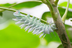 Attacus atlas moth Caterpillar. On a green tree stock photo