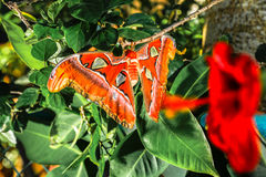 Attacus atlas Moth the giant butterfly. Big butterfly out of the cocoon on the leaf of hibiscus royalty free stock image