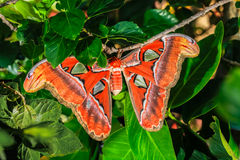 Attacus atlas Moth the giant butterfly. Big butterfly out of the cocoon on the leaf of hibiscus royalty free stock photography