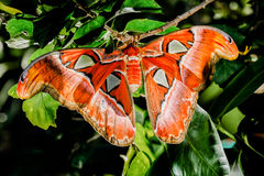 Attacus atlas Moth the giant butterfly. Big butterfly out of the cocoon on the leaf of hibiscus Royalty Free Stock Photo