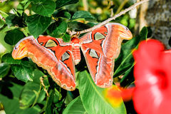 Attacus atlas Moth the giant butterfly. Big butterfly out of the cocoon on the leaf of hibiscus royalty free stock photos