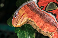 Attacus atlas Moth the giant butterfly. Big butterfly out of the cocoon on the leaf of hibiscus Stock Photos