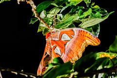 Attacus atlas Moth the giant butterfly. Big butterfly out of the cocoon on the leaf of hibiscus stock photo