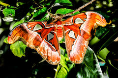 Attacus atlas Moth the giant butterfly. Big butterfly out of the cocoon on the leaf of hibiscus stock images