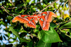 Attacus atlas Moth the giant butterfly. Big butterfly out of the cocoon on the leaf of hibiscus stock photography