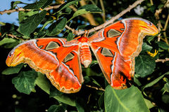 Attacus atlas Moth the giant butterfly. Big butterfly out of the cocoon on the leaf of hibiscus stock image