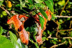 Attacus atlas Moth the giant butterfly. Big butterfly out of the cocoon on the leaf of hibiscus royalty free stock images