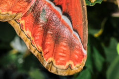 Attacus atlas Moth the giant butterfly. Wing of Attacus atlas Moth the giant butterfly. Big butterfly out of the cocoon on the leaf of hibiscus royalty free stock image