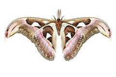 Attacus Atlas Moth Royalty Free Stock Photo