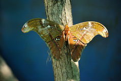 Attacus Atlas Stock Image