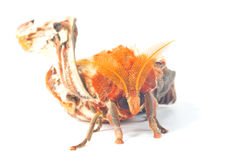 Attacus atlas moth Royalty Free Stock Image