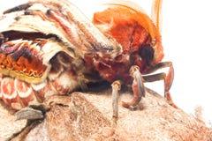 Attacus atlas moth Stock Photos