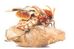 Attacus atlas moth Stock Image