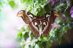 Attacus Atlas moth Royalty Free Stock Photography