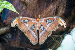 Attacus atlas night batterfly Royalty Free Stock Image