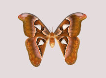 Attacus atlas, one of the largest butterflies  world. Stock Images