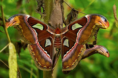 Attacus atlas. Portrait of tropical butterfly atlas moth attacus Royalty Free Stock Images