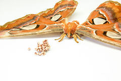The Attacus atlas Royalty Free Stock Photo