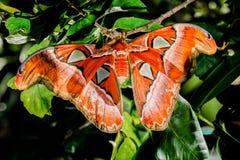 Attacus-Atlasspinner der riesige Schmetterling lizenzfreies stockfoto