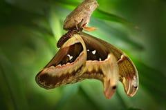 Attacus César, mite dans la famille de Saturniidae, Philippines du sud Beau grand papillon, dans l'habitat Faune en Asie Papillon Image stock