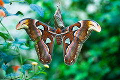 Attacus imperator Royalty Free Stock Photo