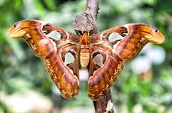 Attacus kartbokfjäril & x28; Kartbok Moth& x29; arkivbilder