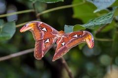 Attacus kartbokmalar ?r en av de st?rsta lepidopteransna i v?rlden royaltyfri foto